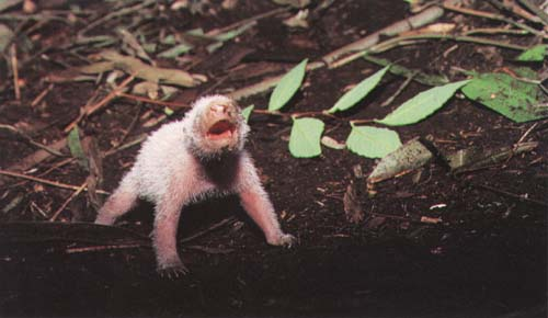 photograph of a new-born giant panda