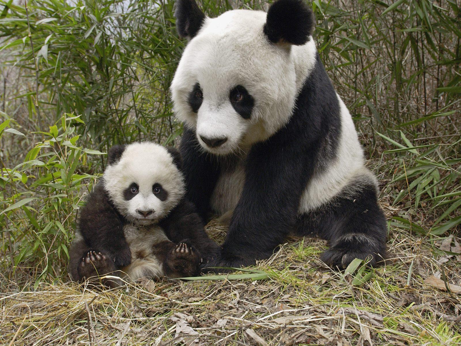 Mother and Baby Panda | Animals II | Pinterest | Pandas ...