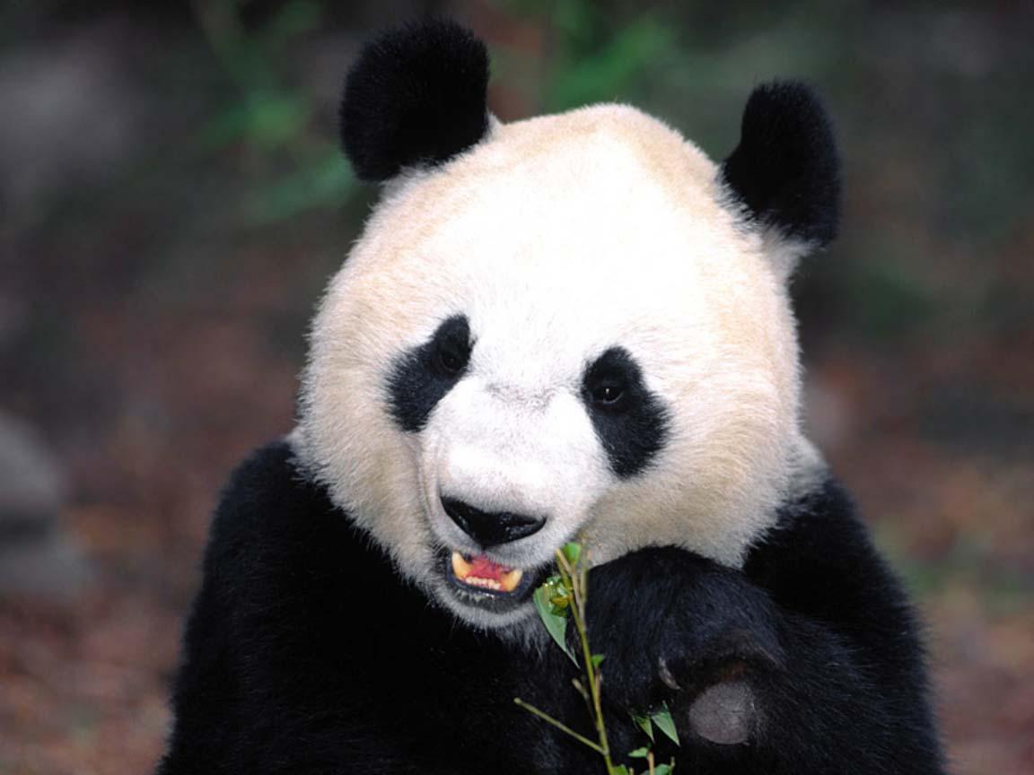 http://giant-panda.com/panda-munch.jpg