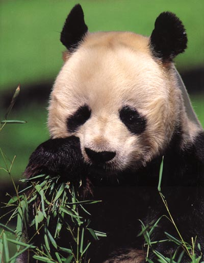 photograph of a giant panda chewing bamboo