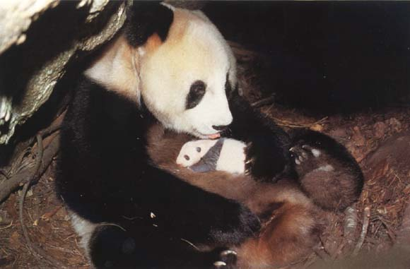 photograph of a giant panda and baby