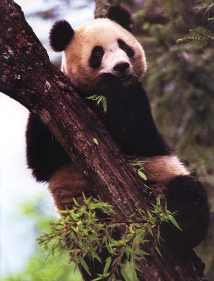photograph of a giant panda in a tree