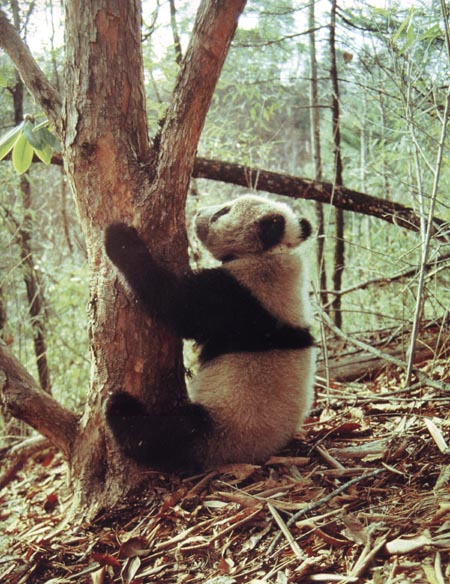 amazing photograph of a giant panda