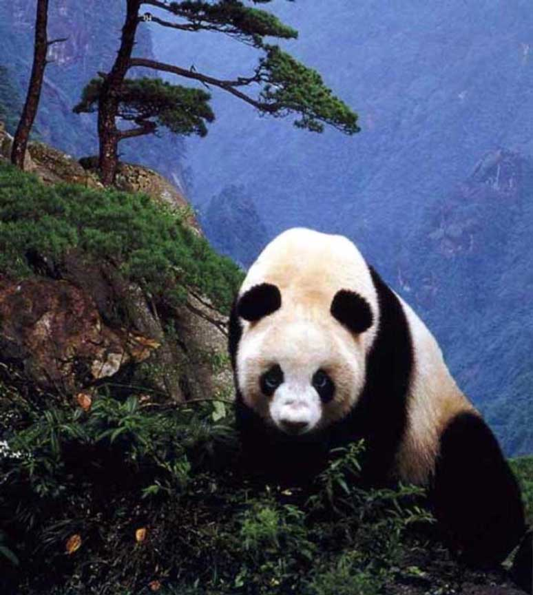 photograph of a giant panda on mountainside