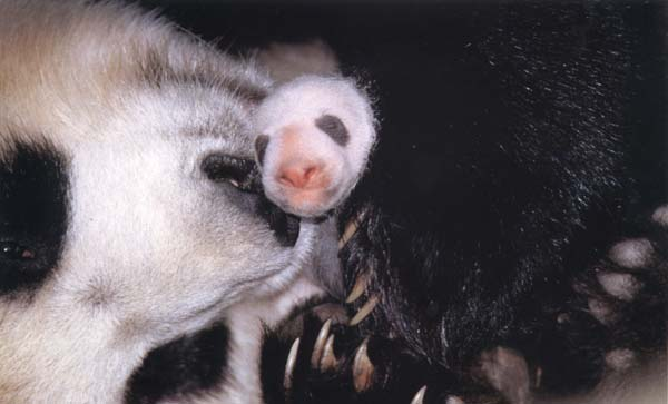 photograph of a giant panda and her baby