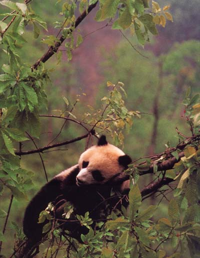 photograph of sleeping giant panda