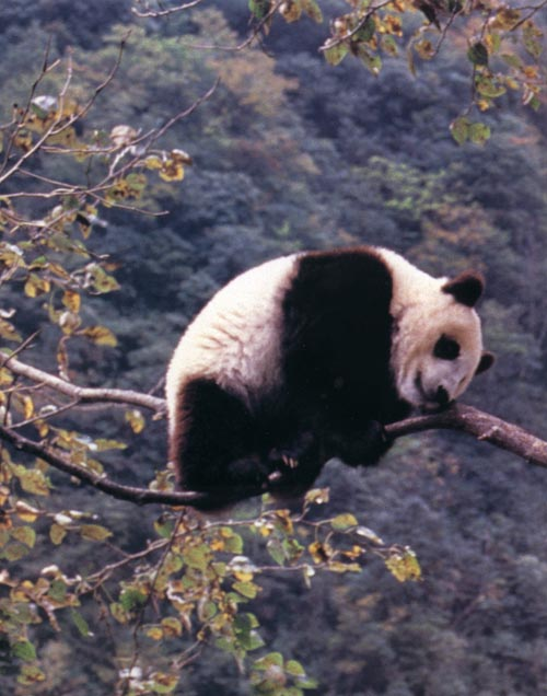 photograph of a giant panda