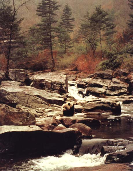 photograph of a giant panda next to a stream