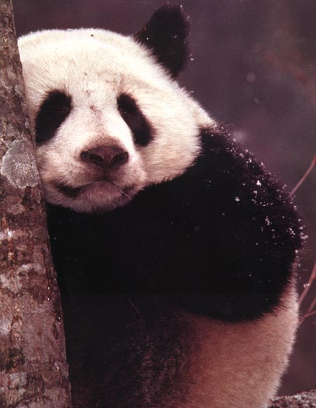 close-up photograph of a giant panda