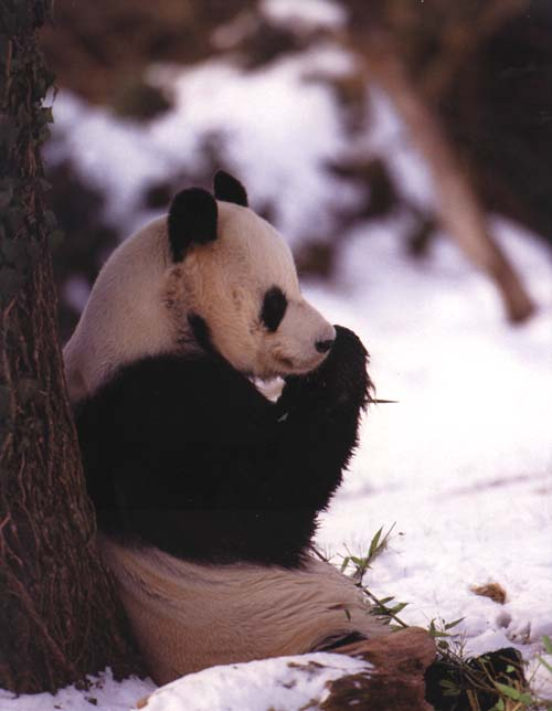 photograph of a sitting giant panda