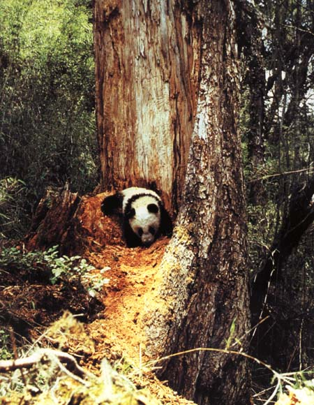 photograph of a foraging giant panda